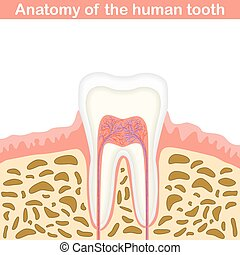 Anatomy of human tooth illustration, unmarked medical...