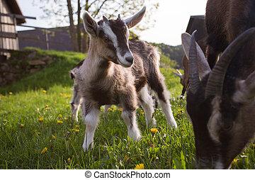 -, 山羊, 動物, 福利