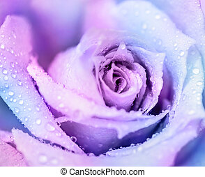 Winter rose background - ?old winter rose, purple abstract...