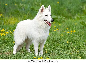 Swiss White Shepherd - Swiss white shepherd dog on the grass