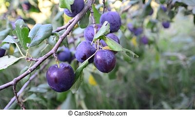 Sweet ripe blue plum on branch - A Sweet ripe blueplum on a...