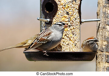 Sparrows at bird feeder - White-crowned sparrow, Zonotrichia...