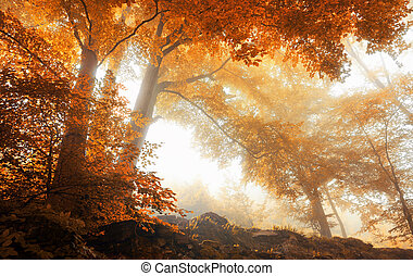 Trees in a scenic misty forest in autumn - Beech trees in a...