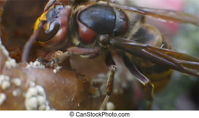 Hornet, Insect, Bug, Wasp, Sting, - Hornet nibbling an apple...