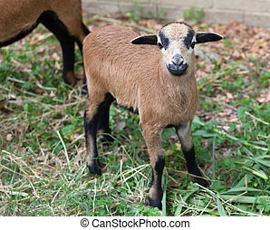 Young sheep of Cameroon - Close up of young sheep of...