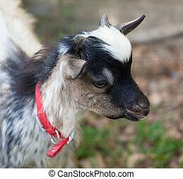 Tibetan goat head - Head close up of  little tibetan goat