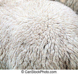 Merino wool - Close up of the fur of a sheep for the...