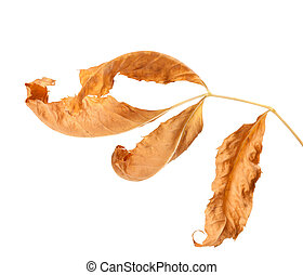 Dried ash-tree leaf isolated on white background