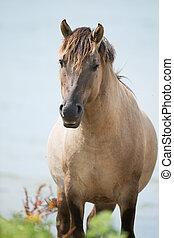 Konik horse - Dutch river Nederrijn with Konik horse near...