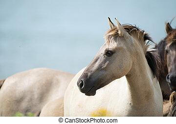 Konik foal head with blue sky