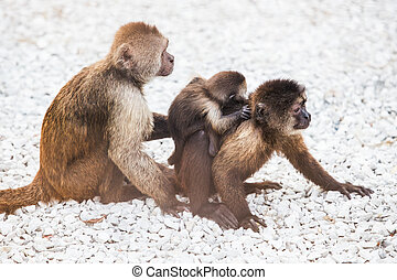 family of little monkeys with the kid on white stones