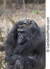 Male lowland Gorilla - A male gorilla sits and stares at the...