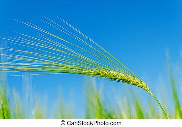 green barley on field and deep blue sky