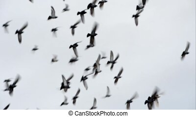 Flock of pigeons flying on the sky
