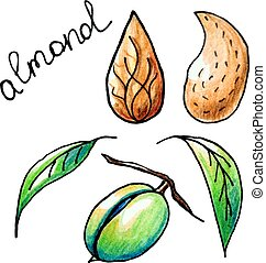 almond - Vector botanical composition with an isolated...