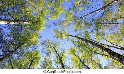 Birch tops in peaceful blue sky, zoom - Summer forest with...