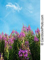 Fireweed Epilobium or Chamerion angustifolium - Pink flowers...