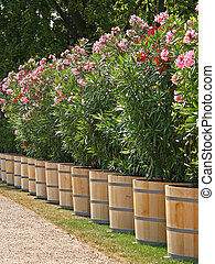 Planter with oleander - Lined up planter with oleander after...