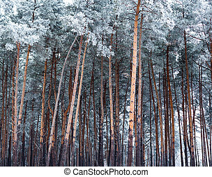 Pine forest covered with hoarfrost in the cloudy day