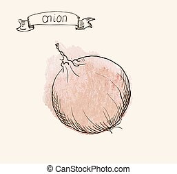 hand drawn vintage illustration of onion - Vector watercolor...