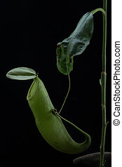Monkey Cups - Nepenthes sp.