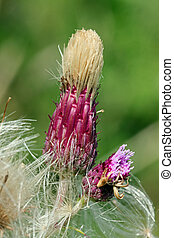 Thistle going into seed - Close-up, macro photo of a thistle...