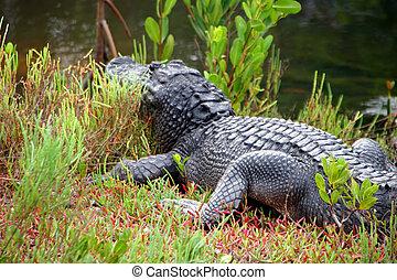 Alligator Ding Darling Wildlife Refuge Sanibel Florida