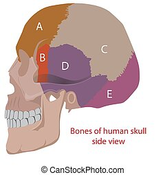 human head's bones - vector illustration of human head bones...