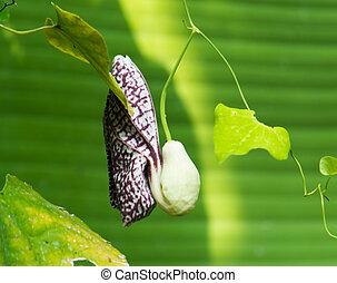 Aristolochia  elegans, Aristolochiaceae