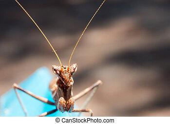 praying mantis look at me praying mantis in phase brown