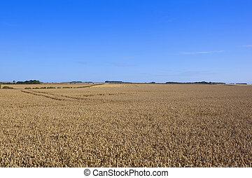 yorkshire wolds wheat fields - golden ripe wheat fields in...
