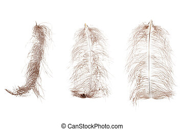 Ostrich feather plume isolated on white background -...