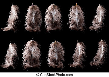 Ostrich feather plume isolated on black background -...