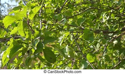 Apple tree foliage are flickering in sunny summer day
