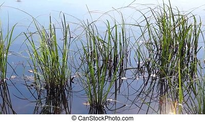 River grass in summer day on breeze - Plants in calm...