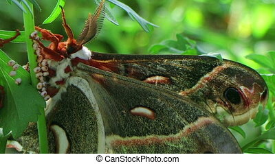 Male Cecropia Moth - Macro of adult male cecropia moth,...