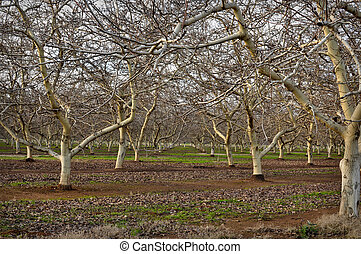 Almond Orchard in Winter - Almond Orchard with bare trees in...
