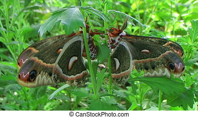 Cecropia Moths Mating - Adult cecropia moths mating, largest...