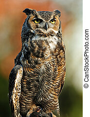 Great Horned Owl - Beautiful portrait of the Great Northern...