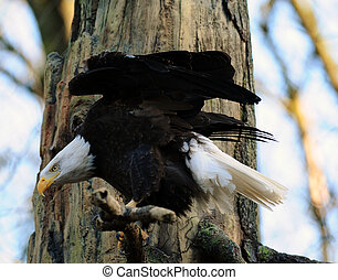 Hunting american bald eagle - American Bald eagle ready to...