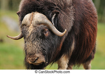 Giant musk ox - portrait of an angry musk oxwith big horns