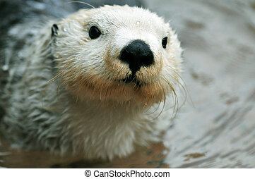 Cute white otter - Adorable arctic white sea otter closeup...