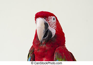 Green-winged Macaw, Ara chloropterus, 1 year old, in front...