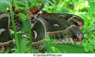 Cecropia Moths Mating 02 - Adult cecropia moths mating,...
