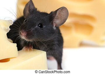 mouse and cheese - close up on little mouse and cheese