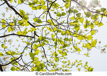 White flowering dogwood tree Cornus florida in bloom in sky...