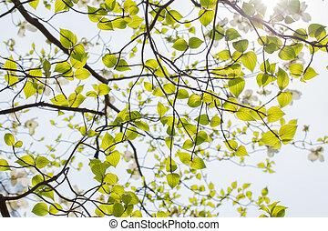 White flowering dogwood tree Cornus florida in bloom in sky...