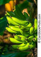 Green banana fruits
