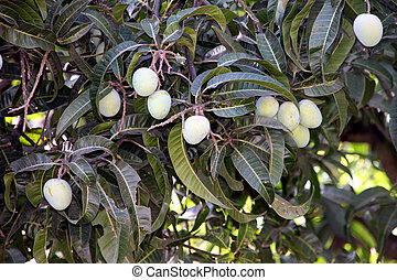 eye catching raw mangoes on a tree - Attractive raw mangoes...