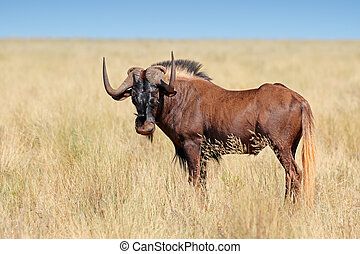 Black wildebeest - Male black wildebeest (Connochaetes gnou)...